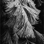 182 Lori Henderson_Pictorial #2 SALON MONOCHROME_Icy Snow on Pine_8 Honorable Mention