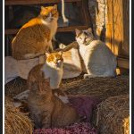 202 Debra Wallace_Pictorial #2 SALON COLOR_Barn Cats waming in the Sun_8 Honorable Mention