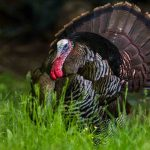 253 Csaba Vadasz_Nature ADVANCED COLOR_Wild Turkey Courtship Display_8 Honorable Mention