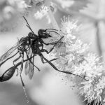 253 Csaba Vadasz_Nature ADVANCED MONOCHROME_ICHNEUMONIDAE WASPS MATING_8 Honorable Mention