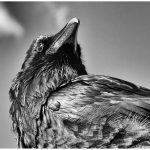 256 Jan Nazalewicz_Looking Up or Looking Down ADVANCED MONOCHROME_Crow_8 Honorable Mention