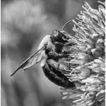 256 Jan Nazalewicz_Nature ADVANCED MONOCHROME_Bee_8 Honorable Mention