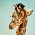 256 Jan Nazalewicz_Pictorial ADVANCED COLOR_Giraffe_8 Honorable Mention