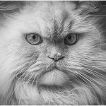 256 Jan Nazalewicz_Pictorial ADVANCED MONOCHROME_Angry Cat_8 Honorable Mention