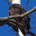 6-Eagle on Hudson_John Luongo